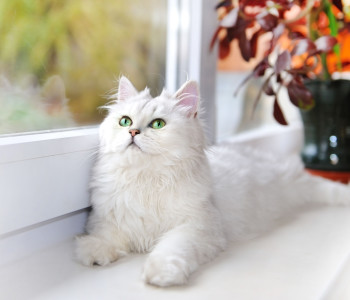White cat lying on the windowsill.